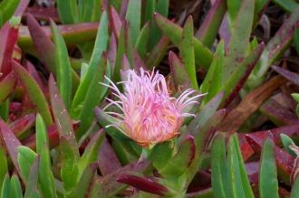 Duncan's Landing flower